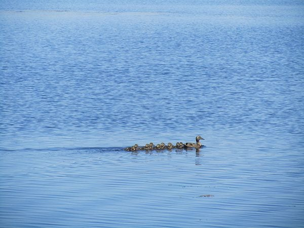 brainerd-lakes-duck-ducklings-1